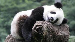 Ursul panda este una din cele mai ameninţate specii