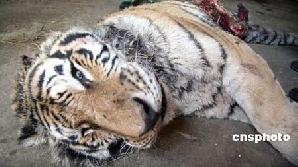 Unul din tigrii morţi de foame  / FOTO: Xinhua