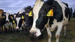 Vacile au prieteni apropiaţi / FOTO: EPA