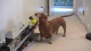 Câinele-cârnat îşi aruncă singur mingiile