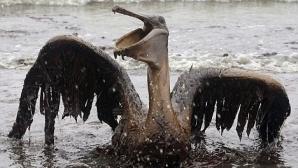 Un pelican plin de petrol, în Golful Mexic / FOTO: AP