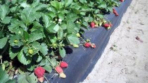 De ani de zile românii lucrează la ferme de căpşuni în străinătate
