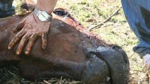 Trei dintre caii de la Letea au murit / FOTO: Vier Pfoten/ George Nedelcu