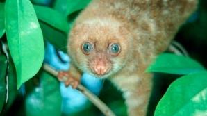 Cuscus cu ochii albaştri