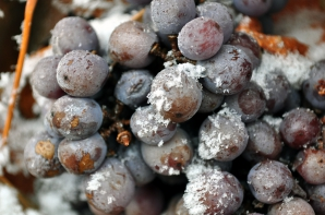 Struguri pregătiți pentru vinul de gheață