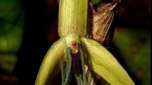 Orhideea care înfloreşte noaptea