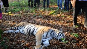 Tigrul care a evadat de la Grădina Zoologică din Sibiu a fost împuşcat