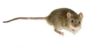 Studiu: Şoarecii au abilităţi muzicale