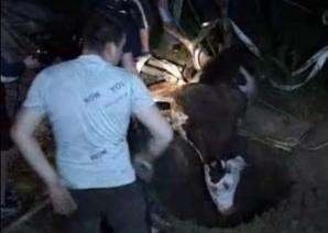 Misiune dificilă: Pompierii s-au chinuit să scoată o vacă din fântână