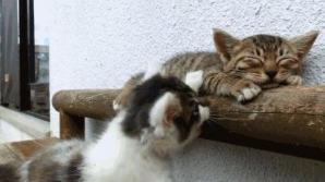 Un pisic încearcă să îşi trezească prietenul adormit