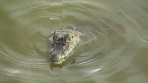 Crocodil într-un ştrand din Roman