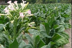 Plantaţie de tutun