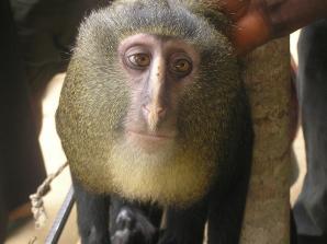Lesula, o nouă specie de maimuţe