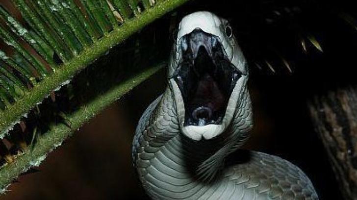 Veninul şarpelui Mamba negru, remediu contra durerii