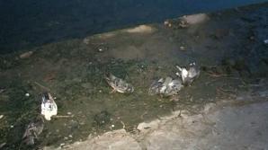SCENE HORROR la Oradea: Zeci de porumbei morţi pe malurile canalului Peţa