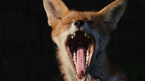 O vulpe turbată în Bistriţa