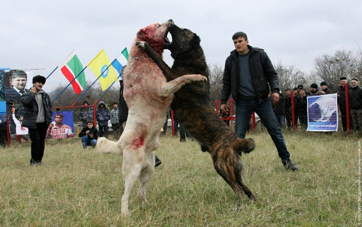 Lupte sângeroase cu câini în Rusia