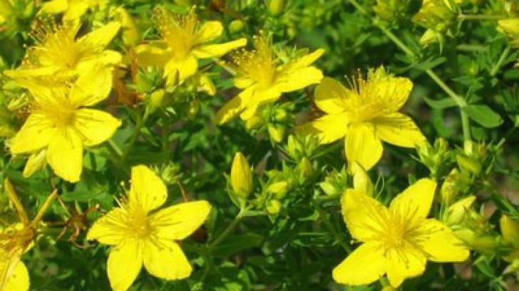 Planta minune care te scapă de oboseală