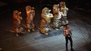 Tigrii vor dispărea din spectacolele de circ din Anglia