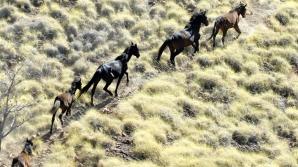 Caii sălbatici vor fi sacrificaţi în Australia