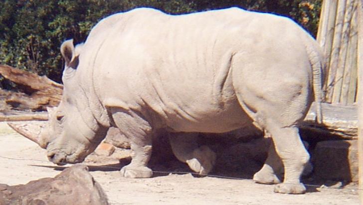 Un pui de rinocer alb s-a născut la o grădină zoologică din Australia