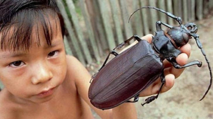Titanul, cel mai mare gândac din lume