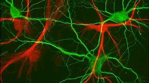 Celule neuronale care influenţează simţul direcţiei şi al orientării, descoperite de cercetători