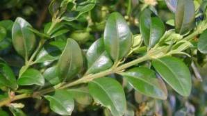 Cimisir (Buxus sempervirens)