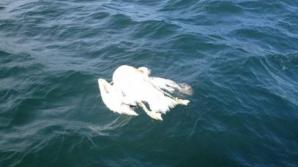 Pelicani morţi la Eforie Nord