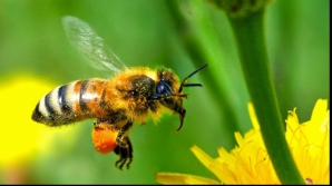 Ce trebuie să faci dacă te înţeapă o albină sau o viespe