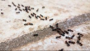 6 paşi simpli ca să scapi de furnici rapid