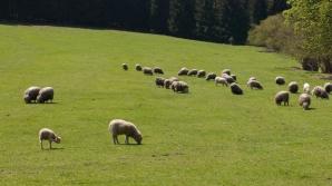 Sute de oi, găsite moarte pe câmp, în vestul ţării. Ce se întâmplă?