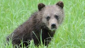 Un urs umblă liber pe străzile din Sibiu
