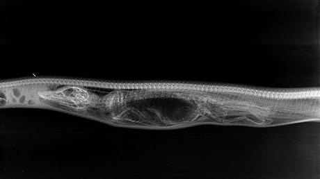 Radiografii fascinante: ce se întâmplă în stomacul unui piton care a devorat un aligator