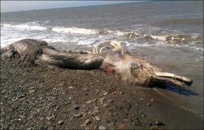 Monstrul marin adus de ape pe Insula Sahalin