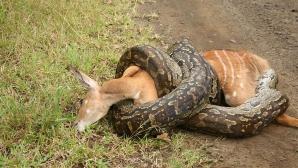 Cum îşi omoară, de fapt, şarpele boa prada? Tot ce ştiam până acum este fals