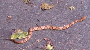 Alertă în localitatea Ovidiu, din Constanţa. Un şarpe uriaş a apărut pe stradă