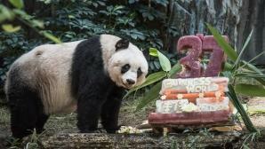 Ea este Jia Jia, cel mai bătrân urs panda din lume. Are 111 ani