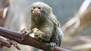 Cea mai mică maimuță din lume! E adorabilă!