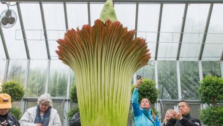 O floare cu miros de cadavru a atras mii de vizitatori la o grădină botanică din SUA. Cum arată