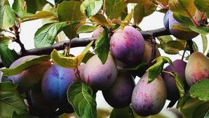 Frunzele de prun au o serie de beneficii necunoscute. Iată cum se prepară ceaiul-minune!