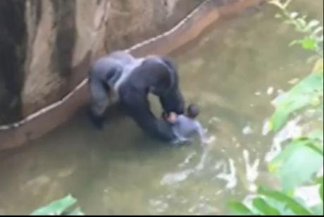 Imaginile îngrozitoare în care un copil de patru ani cade în cușca unei gorile au fost surprinse la Grădina Zoologică din Cincinnati, SUA. În urma incidentului, animalul a fost eutanasiat, potrivit reprezentanților parcului. Citește mai departe...
