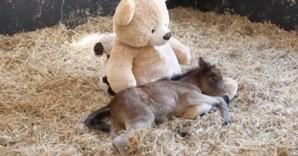 Motivul incredibil pentru care acest ponei nu se dezlipeşte de ursuleţul său de pluş