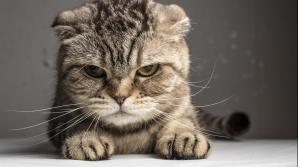 Pisica fioroasă