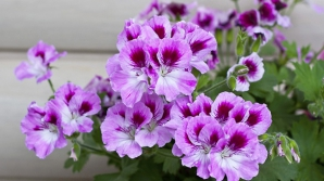 Cum să ai cele mai frumoase MUŞCATE în balcon. Pune ASTA în apă când le uzi şi vei vedea diferenţa