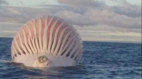 """Un pescar australian a rămas fără cuvinte când a descoperit un balon uriaș ce plutea în ocean. """"Monstruozitatea"""" era de fapt o balenă moartă. Citește mai departe..."""