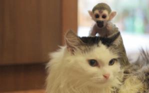 Pisica si puiul de maimuta