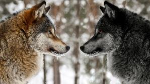 Povestea celor doi lupi. Îţi va schimba complet modul de gândire!