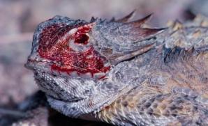Spectacolul naturii! Şopârla care aruncă sânge din ochi