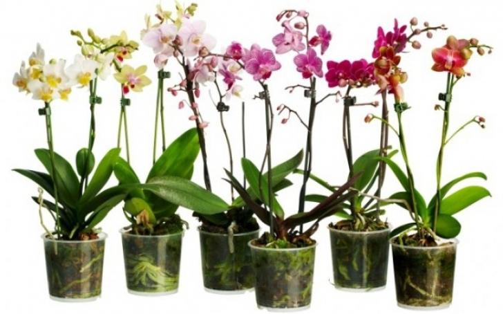 Cum poți transforma o singură orhidee într-o sută de ghivece de flori